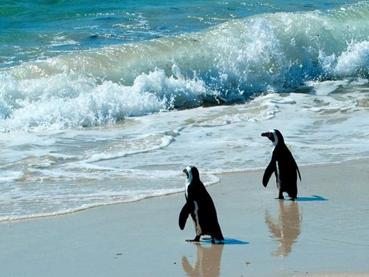 Penguins(Ferguson)