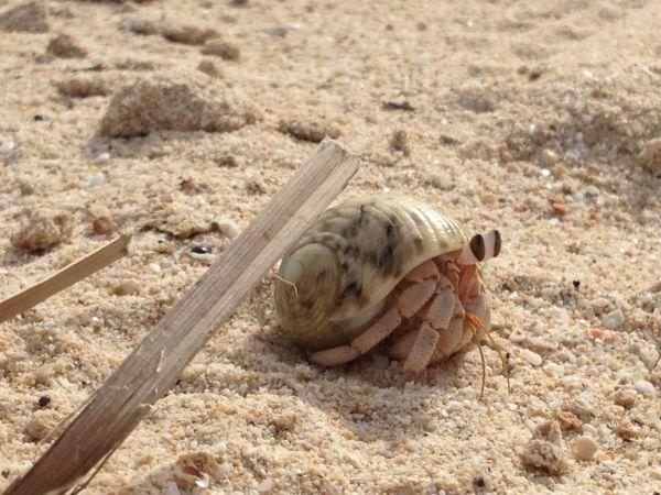 Image: Crab, Oman