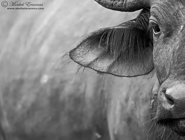 buffalo abstract close-up of ear