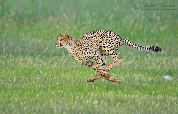 Cheetah_Runner.jpg
