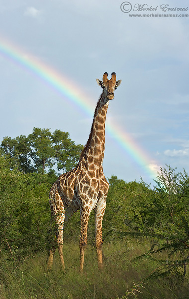 giraffe with a rainbow in the background wildlife photography