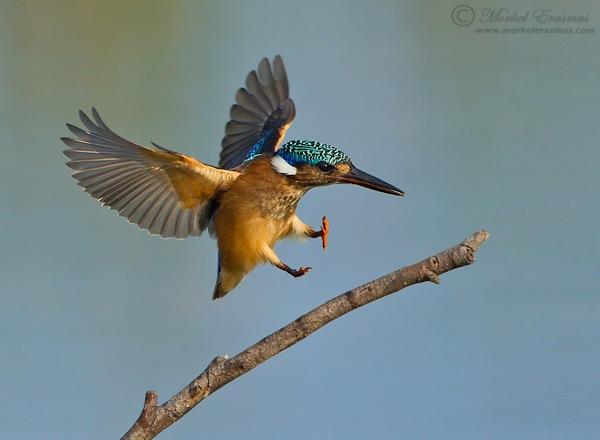 Kingfisher Flying 10 Tips for Imp...
