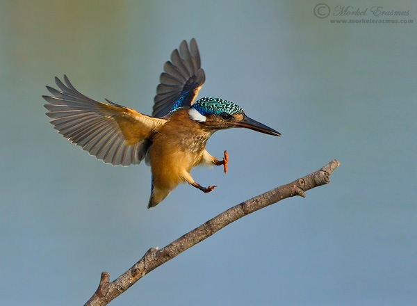 landing kingfisher wildlife photography example