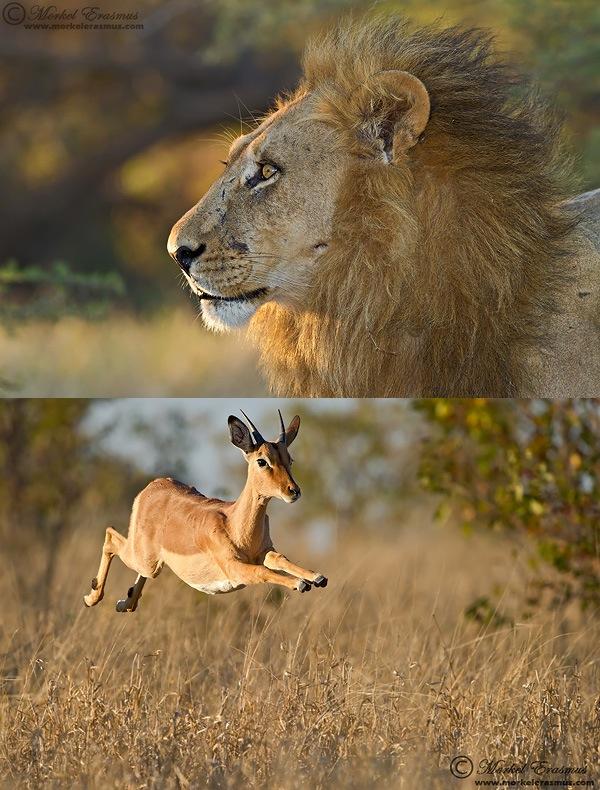 Lion_Impala.jpg