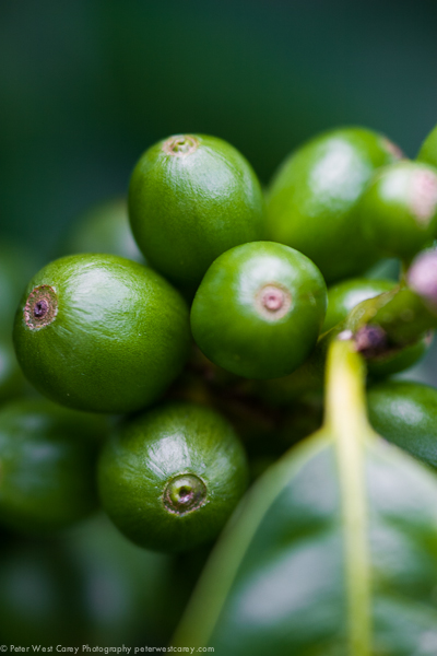Image: Coffee beans in Costa Rica