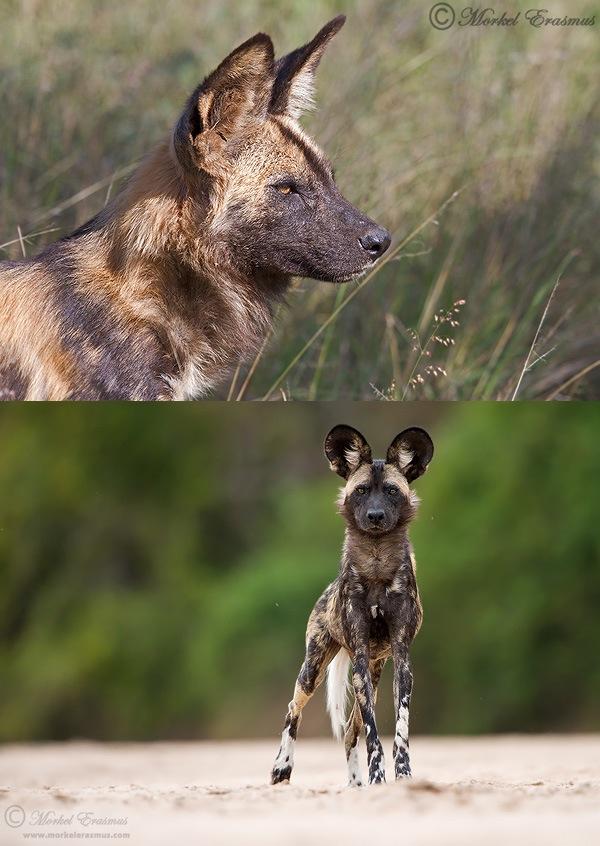 Wild_Dogs.jpg