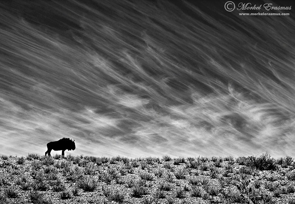 wildebeest on a dune as stunning wildlife photography