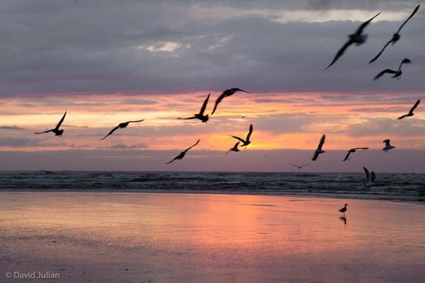 Gulls at sunset Oregon 293