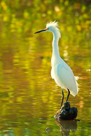 Egret, Ding Darling Wildlife Refuge, Florida