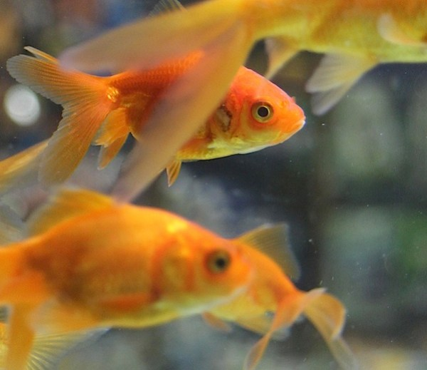 Goldfish 1.JPG