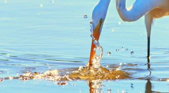 Egret at Ding Darling Wildlife Refuge, Florida.