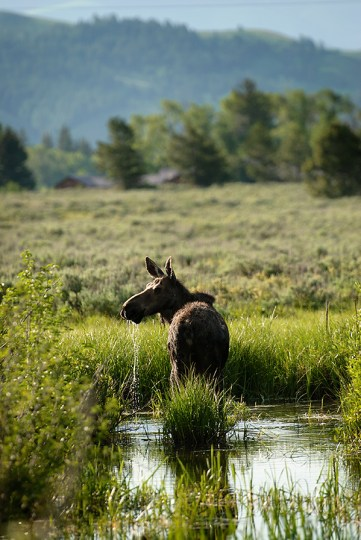 Moose_Jun302010_0019(sRGB-websize)
