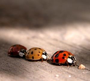 Macro-Ladybirds