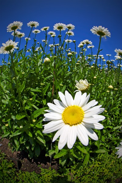 By getting close to this daisy, it is easily emphasized in the foreground, while the other daisies just behind it get pushed back. EOS 5D Mark III with EF 8-15mm Fisheye Zoom