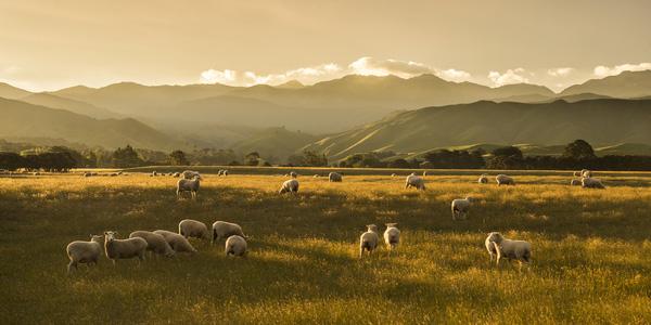NZ WR Sunset Sheep