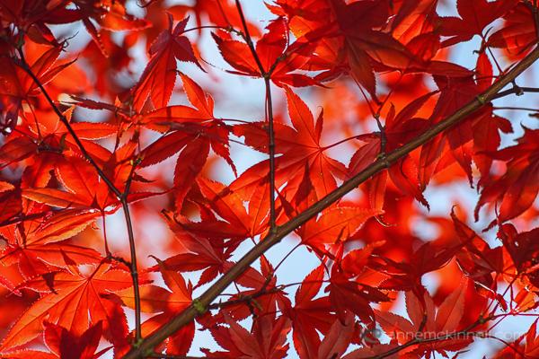 Backlit Maple by Anne McKinnell