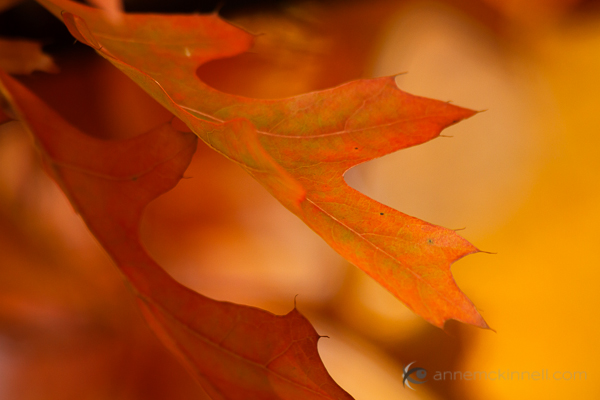 Autumn Oak Leaves by Anne McKinnell