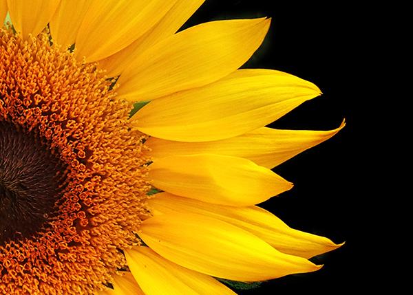 texture-006-sunflower