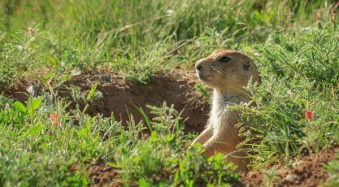 Prairie Dog, Devils Tower National Monument, Wyoming, by Anne McKinnell.