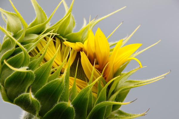 McEnaney sunflower