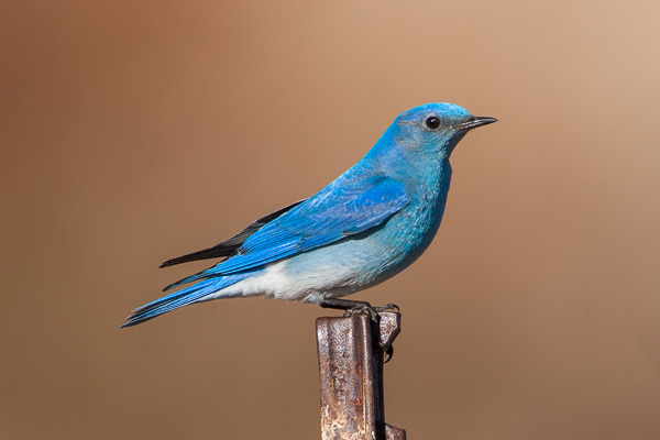 Mountain Bluebird looking toward the viewer