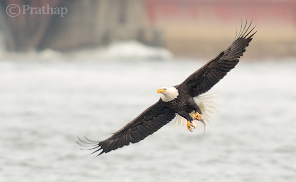 https://i1.wp.com/digital-photography-school.com/wp-content/uploads/2014/02/Bald-Eagle-In-Flight-With-A-Catch.jpg?resize=600%2C368&ssl=1