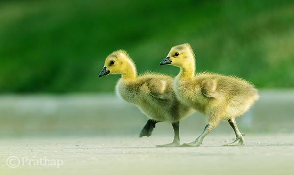Goslings Crossing the Road