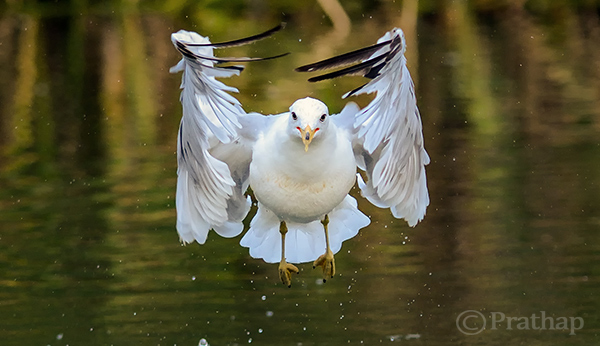 Seagull the Eagle