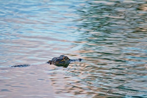 Baby Aligator by Anne McKinnell