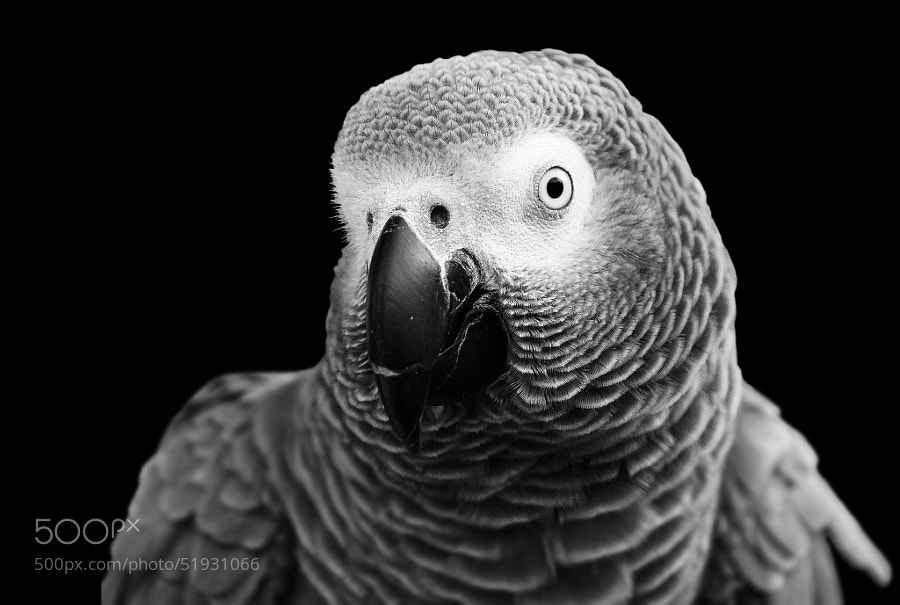 Photograph African Gray by cherylorraine smith on 500px