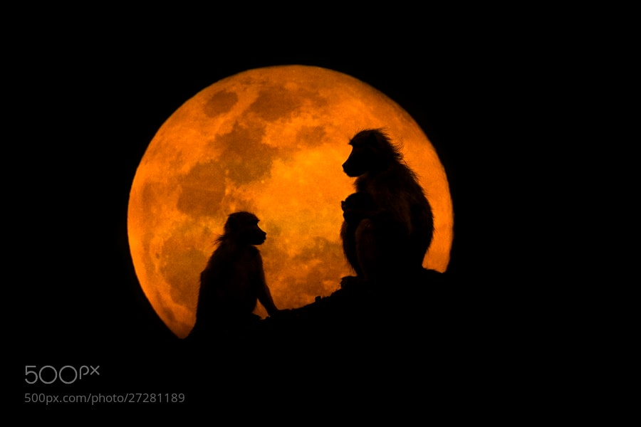 Photograph The Baboons & The Moon by Mario Moreno on 500px