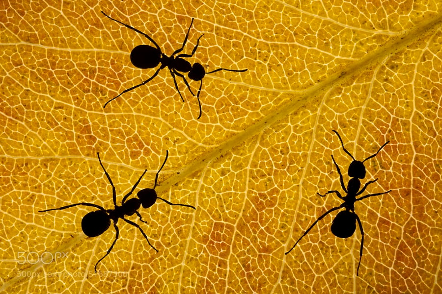 Photograph Ants silhouette by Barni Buslig on 500px