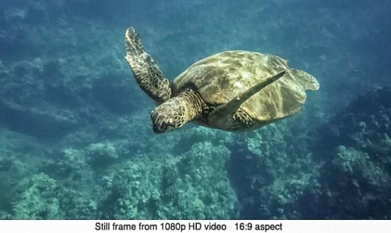DJulian Sea Turtle Makena Maui Video Still