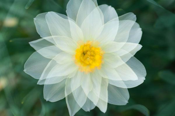Unique Flower Photography Using Multiple Exposures