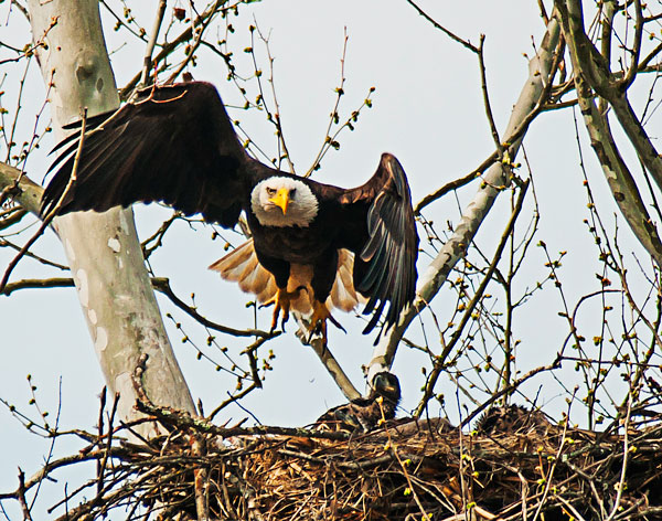 bald eagle flying over nest