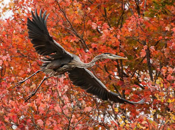 fall-heron