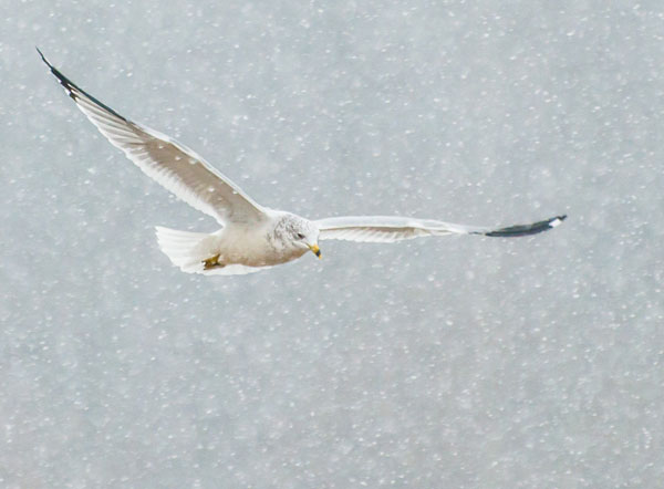 gull flying in snow