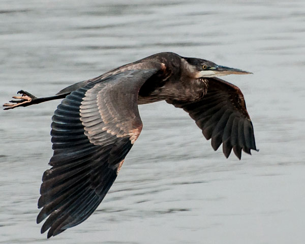 heron as a bird in flight