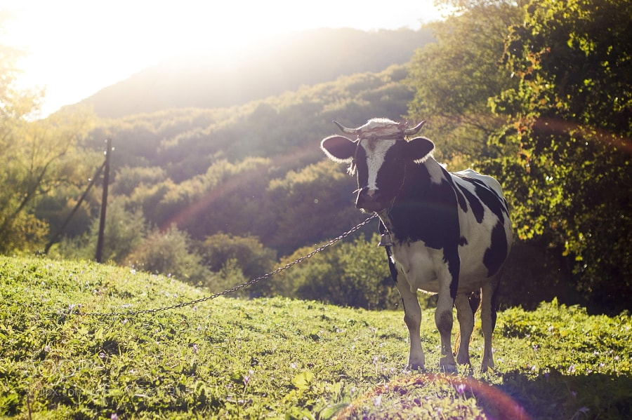 Photograph Carpatian cow by ????????? ????? on 500px