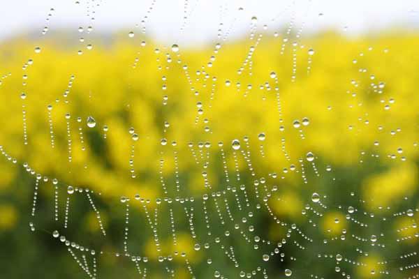 005 Rapeseed Field Dewdrops