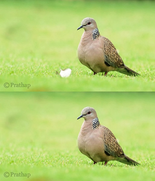 Nature Photography Simplified Bird Photography Beautiful Dove Background After Removing Distraction In Background