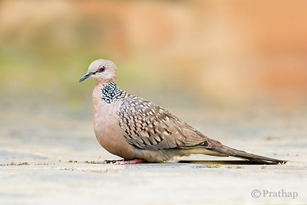 Nature Photography Simplified Bird Photography Dove Clean Background