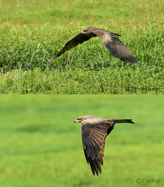 Nature Photography Simplified Bird Photography Eagle Flight Distracting vs Clean Background