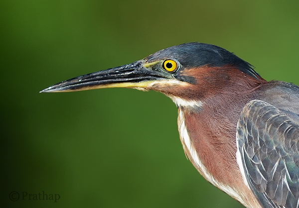 Nature Photography Simplified Bird Photography Green Heron Portrait Bokeh Effect