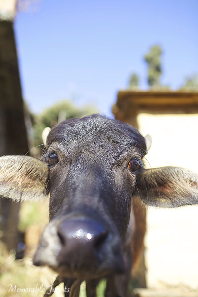 Photographing From The Hip Water Buffalo in India By Memorable Jaunts