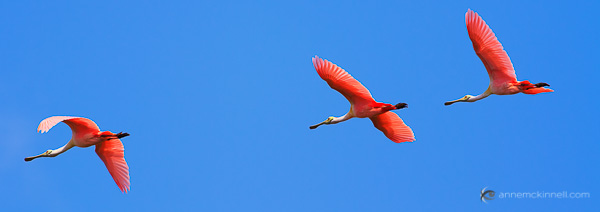 Roseate Spoonbills in Flight by Anne McKinnell