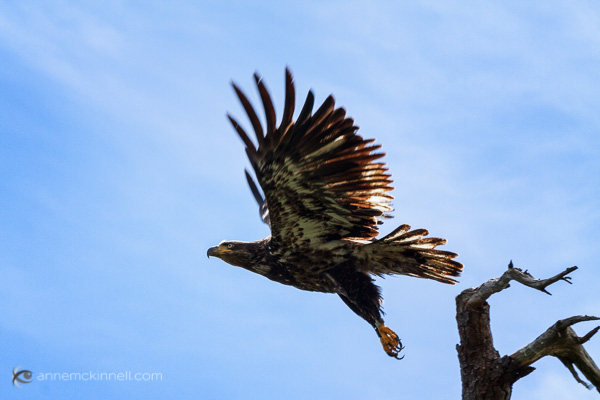 Juvenile Bald Eagle flying by Anne McKinnell