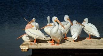American White Pelicans at the Salton Sea, California, by Anne McKinnell