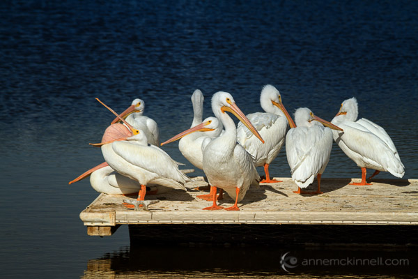 American White Pelicans at the Salton Sea, California, by Anne McKinnell