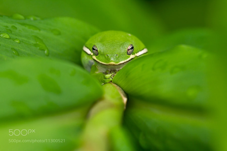 Photograph Little Green Tree Frog by Lorraine Hudgins on 500px